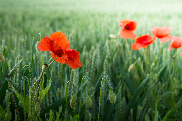 Poppies in Wheat Field: Perfect Poppies in the Edge of a Wheat Field