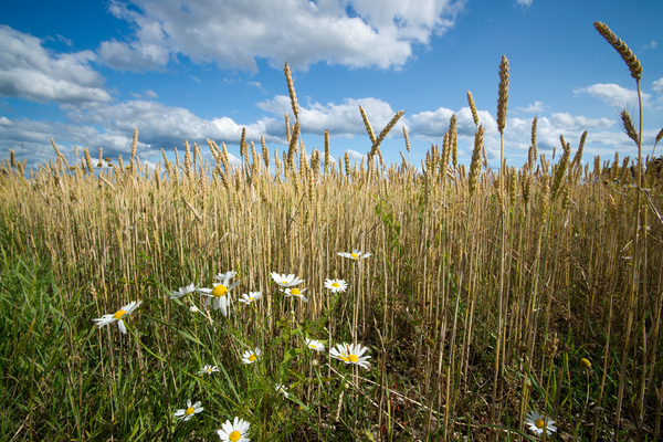 Wheat Field with Chamomile