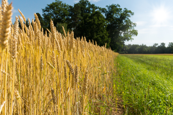 Wheat Field: Edge of a Wheat Field, near Forest, grassy Path. Shallow DOF.