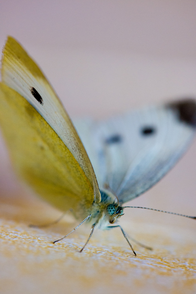 Yellow & White Butterfly
