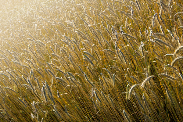 Ripe Barley Field: Ripe Barley Field in bright Sunshine