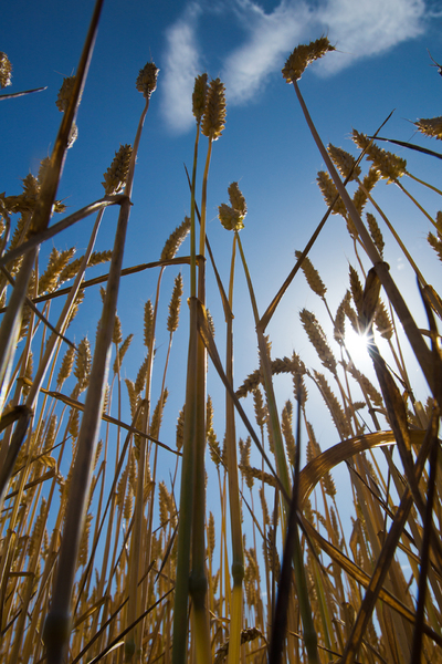 Ripe Wheat low POV: Ripe Wheat photographed from low Point of View, against blue Sky, with Star-like Sun, Wideangle, Polarizer