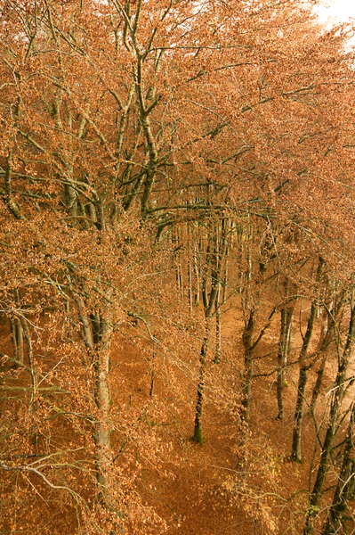 Beech Tree Forest Canopy from