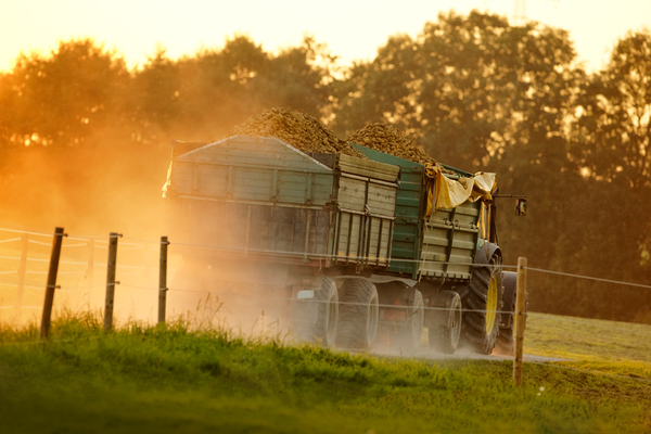 Potatoe Transport: Farmer carrying Home a heavy Load of harvested Potatoes at Sunset