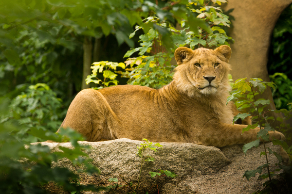 Future Lion King - young male : Young male Lion lying on a Rock