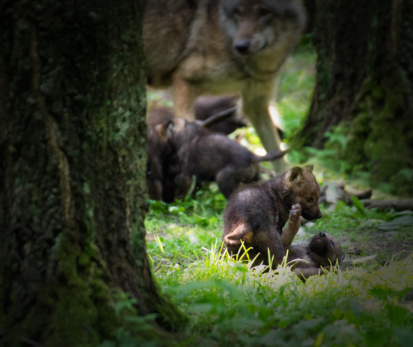 Wolf Babies