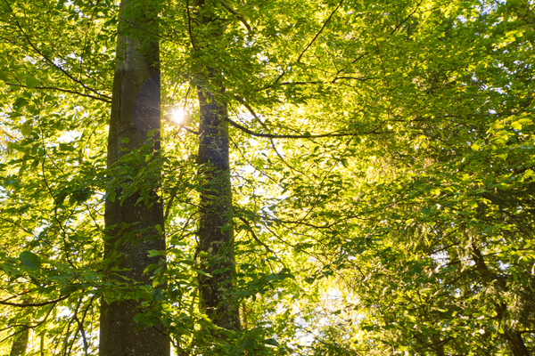 Light Green Foliage: Natural Forest - Sun shining through light green Foliage