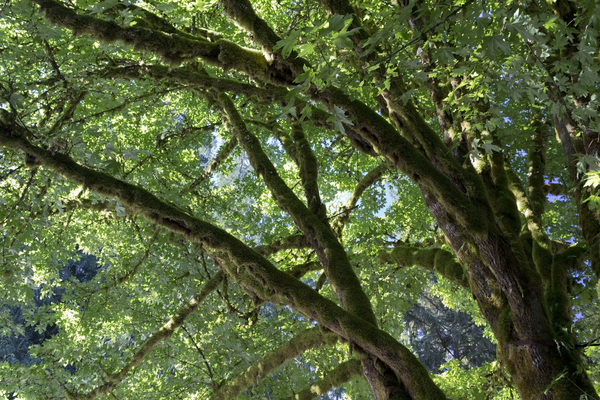 Mossy tree: Part of a large old moss-covered maple (Acer) tree in bright morning sunlight.