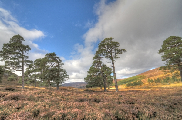 Scottish heather and pines