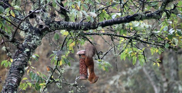 Red squirrel and robin