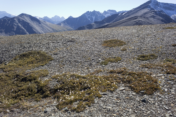 Extreme plants: Mountain avens (Dryas) growing in extreme conditions - on shattered rock on the top of a high mountain in the Rockies, Canada, that is covered with deep snow for much of each year.