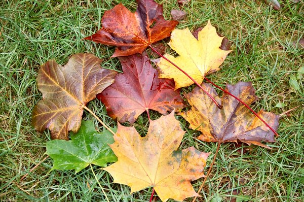 Maple leaves: Maple leaves are so many different colours.
