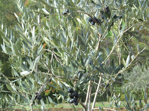 black olives tree