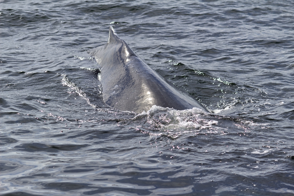 Humpback whale: A humpback whale (Megaptera novaeangliae) off the coast of Vancouver Island, Canada, starting to dive.