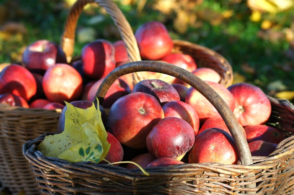 autumn apples: just gathering apple