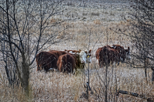 Frozen Fields of Krestova: cattle in a frozen field