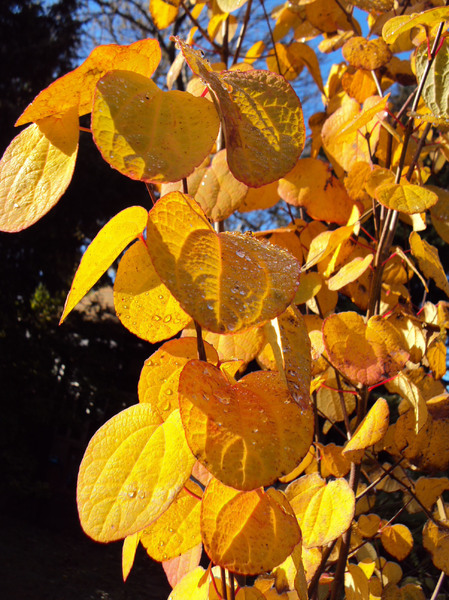 Red,Gold and Yellow: Vibrant Autumn Colours of Eucalyptus