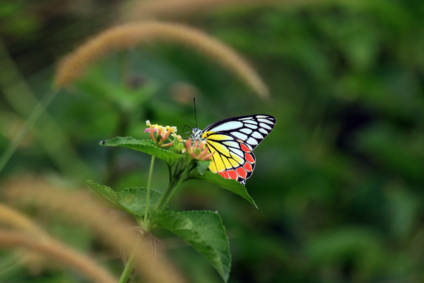 Common Jezebel: Beautifully colored butterfly was found on Sri Lanka.
