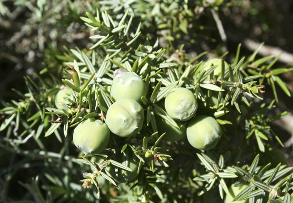 Juniper berries: Wild juniper with green (unripe) berries in southern Spain.