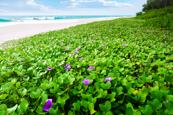 Plants on tropical Beach: Goats Foot Plants with violet Flowers on a tropical Beach