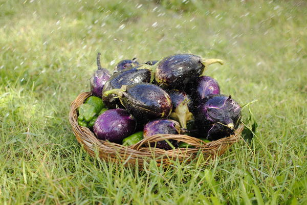 eggplants and peppers 4: eggplants and peppers freshly picked garden with a basket