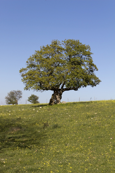 Old tree in spring: An old oak (Quercus) tree in spring in southern Italy.
