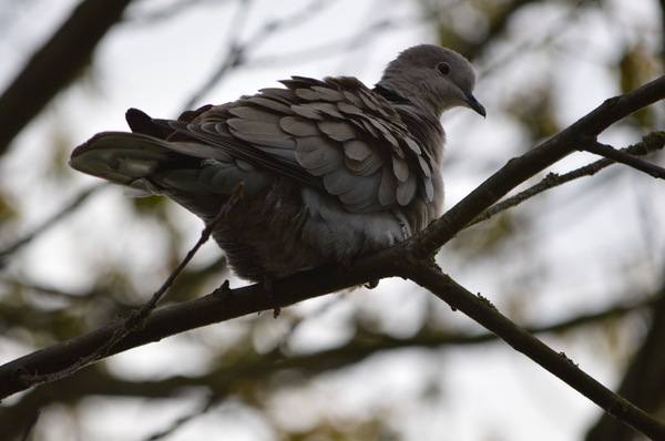 Pigeon: A pigeon in a tree.