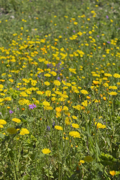 Wild flowers: Wild flowers in an olive orchard in Puglia, Italy, in spring.