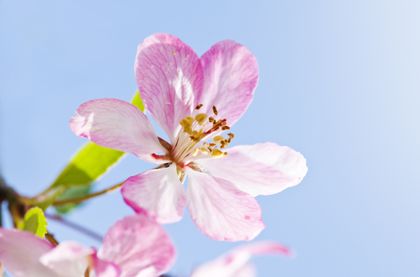 Soft apple blossom: pink apple blossom
