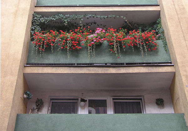 Balcony geraniums