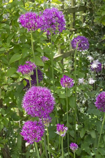 Ornamental Allium flowers