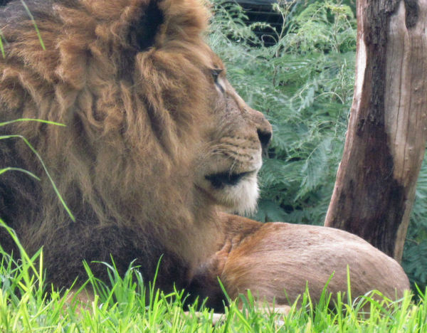 lion watch1: male lion resting in his enclosure