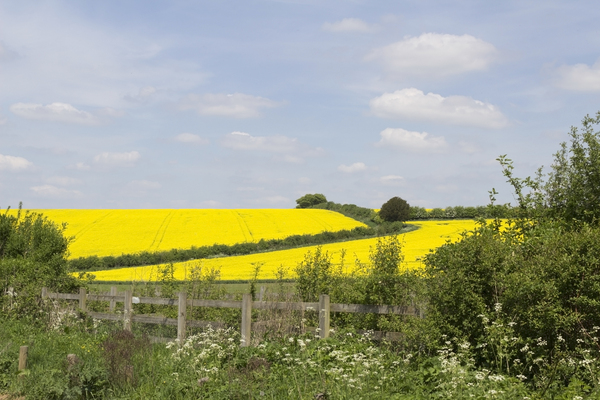 Green verge, yellow fields