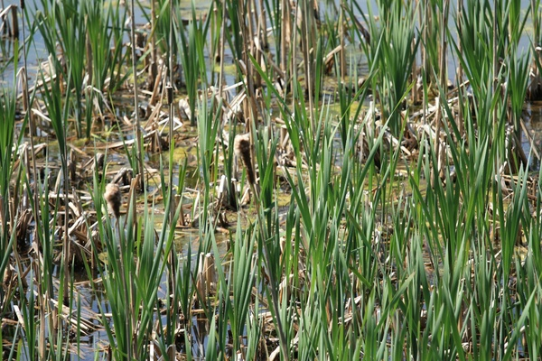Reeds in a marsh