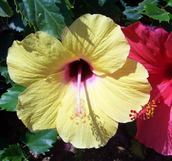 Red and Yellow Hibiscus 3