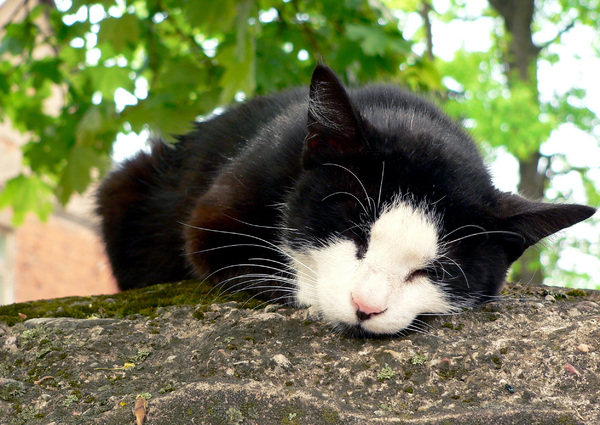 cat: dreaming cat on the gatepost