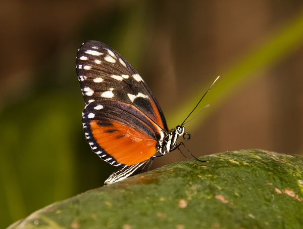 Orange Butterfly: An orange butterfly on a branch.