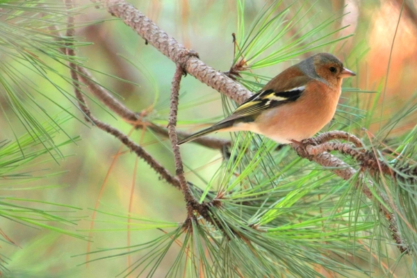 Chaffinch: Chaffinch on tree.