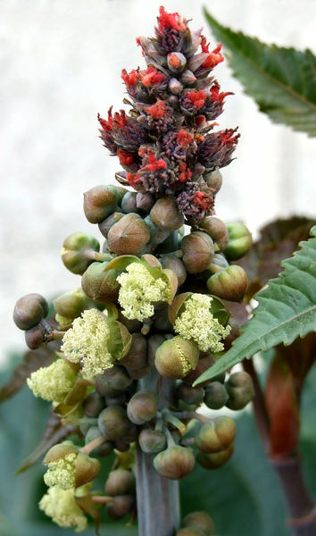 castor seed pods & flowers6: male and female flowers of the castor oil plant