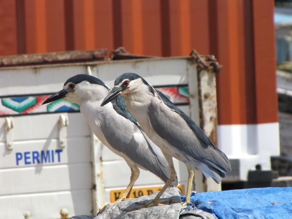Night Herons at the Wharf
