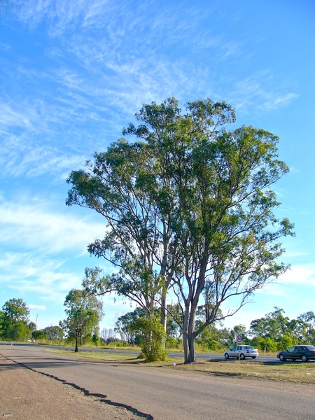 Gum Tree: A beautiful tall eucalyptus or gum tree on the side of the Bruce highway at a tiny town called Tiaro in Queensland. Taken from a side road.