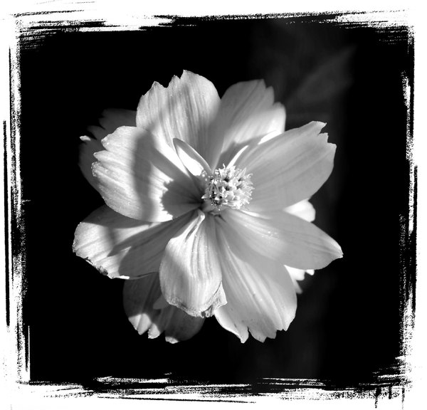 White Flower on black Grunge