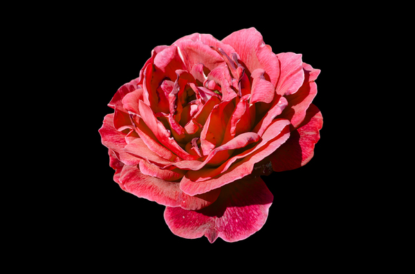 rose-black background: rose-black background
