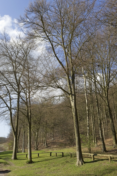Spring woodland: Beech (Fagus) woodland in early spring in West Sussex, England.
