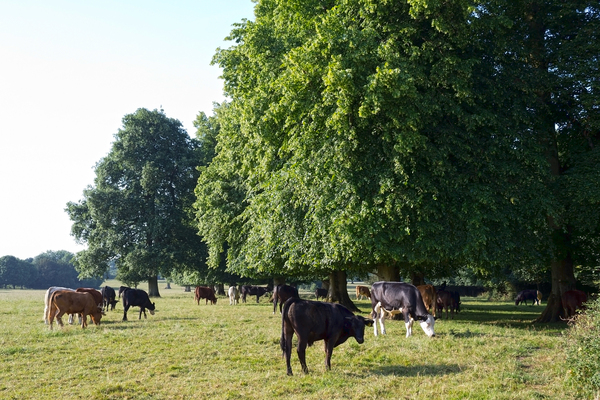 Cows by woodland: Cows grazing by a woodland margin of a field in Wiltshire, England, in early morning light.