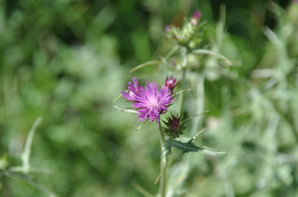 purple thistle 2