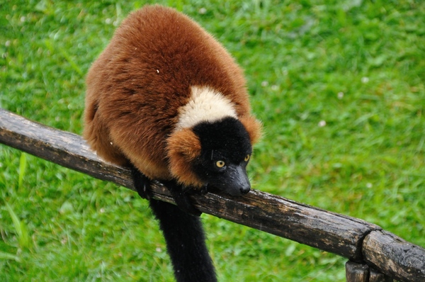 Red ruffed lemur 6