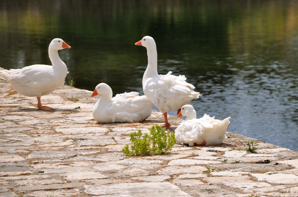 White ducks 1