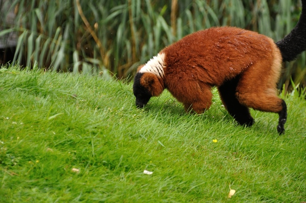 Red ruffed lemur 2