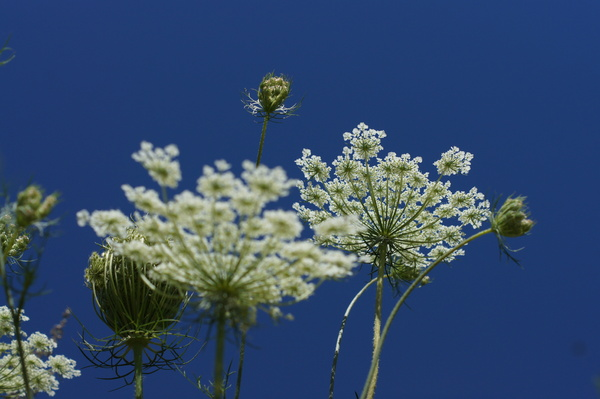 umbel flower